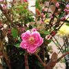 今日のお花「まんでかん桃」-サムネイル