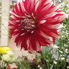 今日のお花「ラララ」-サムネイル