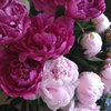 今日のお花:芍薬-サムネイル