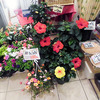 今月のお花「ハイビスカス」-サムネイル