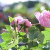 バラの季節-サムネイル